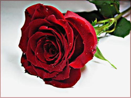 роза белая роза алая видео бесплатно