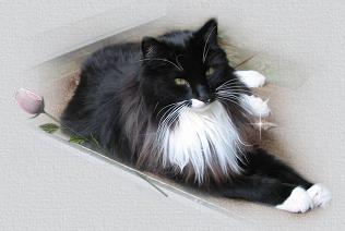 Для всех кошек, кому от природы дана красивая шелковистая шерсть