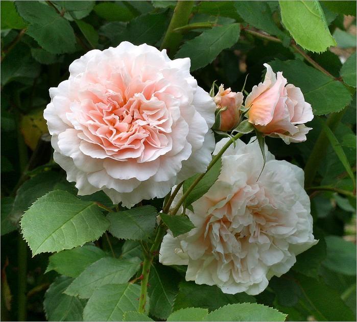 """предпросмотр. таблица цветов. схема. palena29.  Автор схемы  """"Розы """".  Размеры: 190 x 171 крестов.  0. Картинки."""