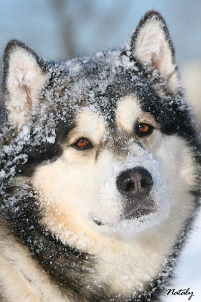 My Alaskan Dream - My malamute.