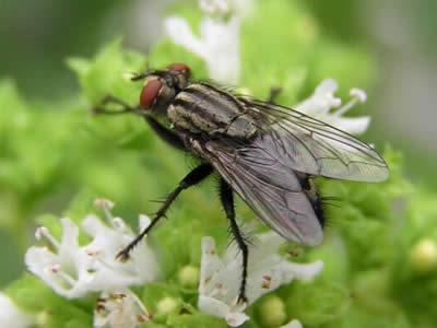 В крыльях и ногах мухи мышцы разной природы.  Крылья у насекомых могут совершать до 1000 колебаний в секунду.