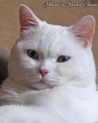 Британские белые котята в питомнике британских кошек Allure.  ВСЕ.