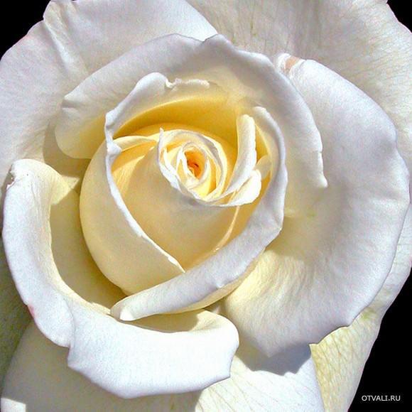 Белые розы - скачать схему