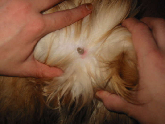 Dogs With Swollen Ear Flaps Symptoms and Treatment