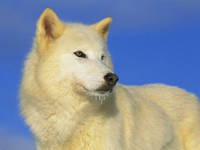 Крупный план: полярный волк.