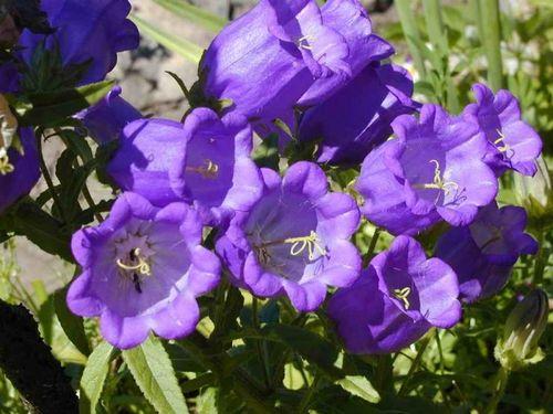 Цветочный календарь - 1 июня - 11 июня КОЛОКОЛЬЧИК.  Любит...  Спасение Колокольчика - хорошая семья, добротный дом.