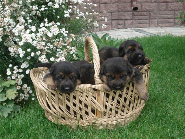 Е-mail.  Смотрите также: щенки немецкой овчарки.  Отправить письмо.