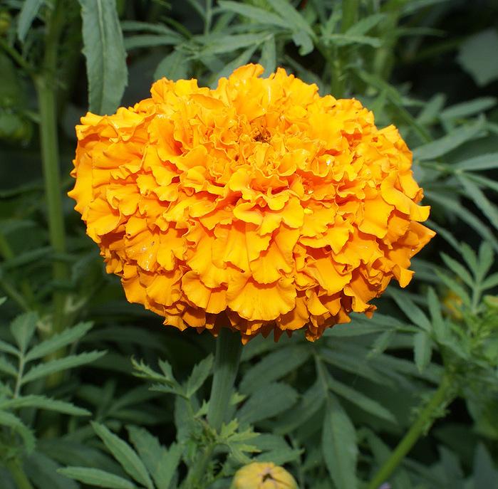 Купить рассаду цветов:Тагетис прямостоячий с крупным цветком