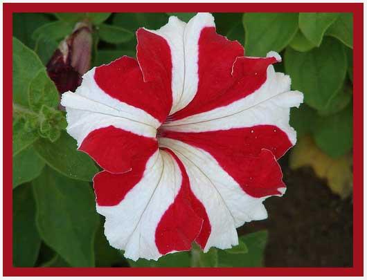 Купить рассаду цветов:Петуния пикабело