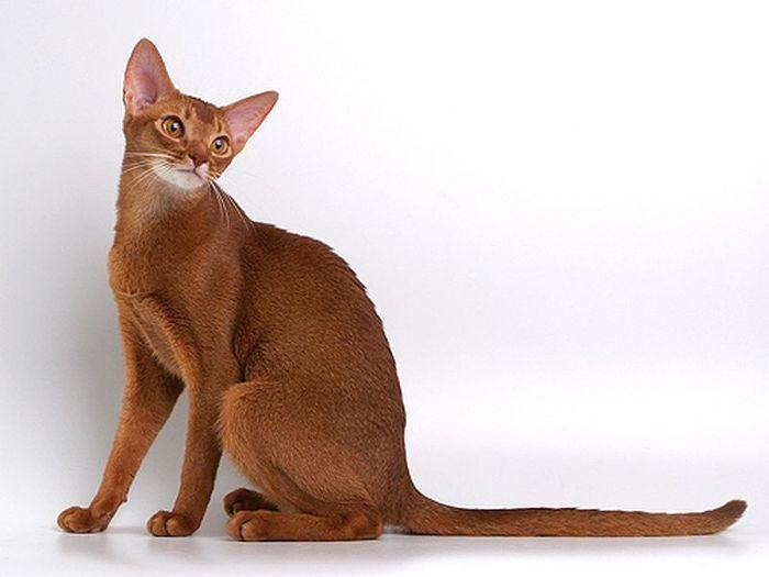АБИССИНСКАЯ КОШКА - порода короткошерстных кошек.