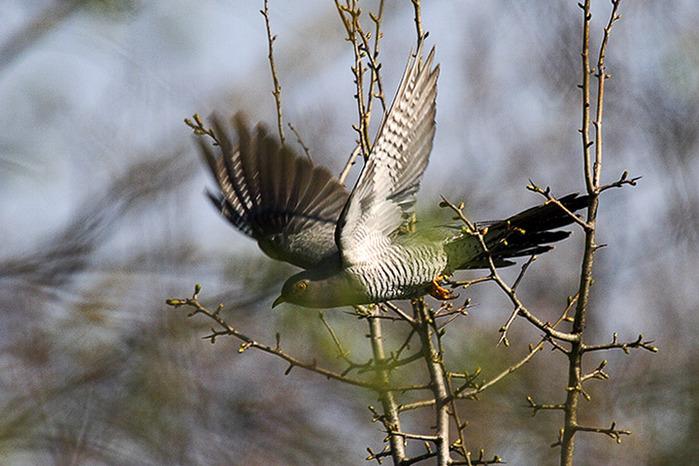 Кукушка Дикие птицы.  Виды диких птиц, фото и описание.