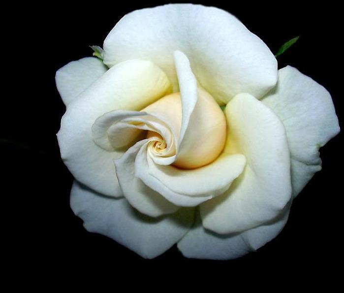 Живописцы изображали Богородицу с тремя венками.  Венок из белых роз означал ее радость, из красных - страдания, а.