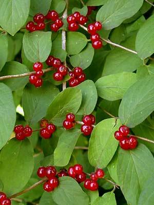 Волчьими ягодами иногда называют жимолость лесную.