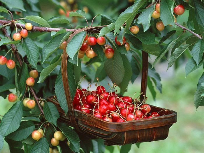 Голосовать. вишня.  Вы можете закачать эту картинку на свой мобильный телефон, для этого отправьте. ягода...