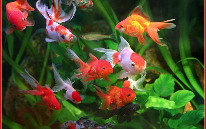 Аквариум для 9 рыбок.  В Китае рыба всегда считалась