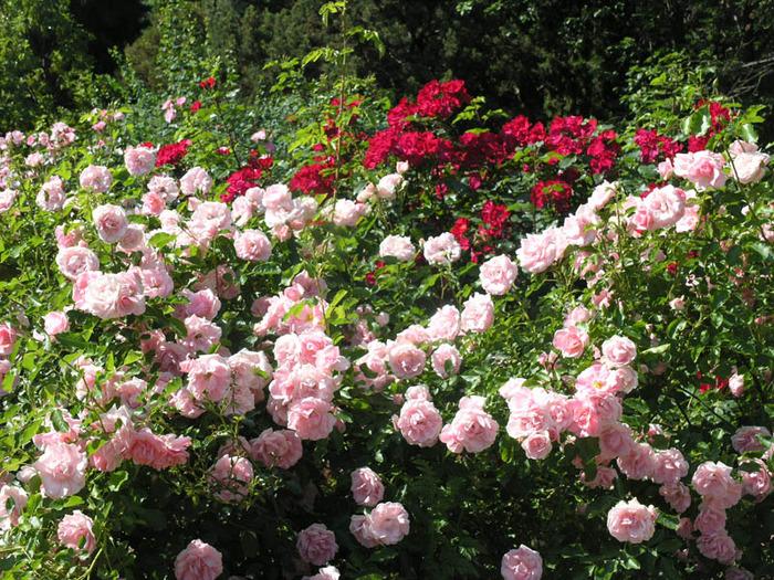 Поля роз