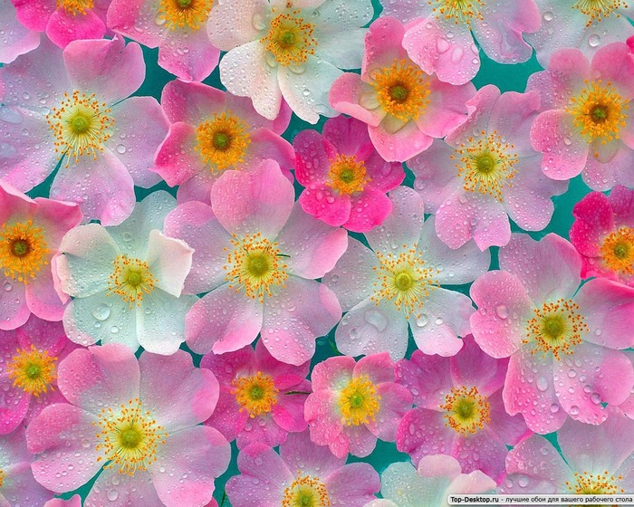 Клипарт - обои - цветы Anemones.  Обои для рабочего стола.