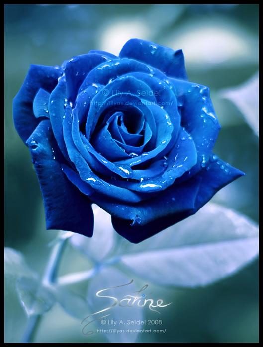 Не взяла она и - в слезы: Синие найди ей розы.  Я повёрнута на синих розах)