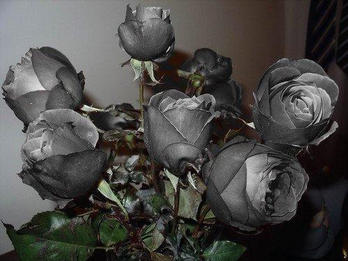 http://img0.liveinternet.ru/images/attach/c/0/52/790/52790160_ch_roz40.jpg