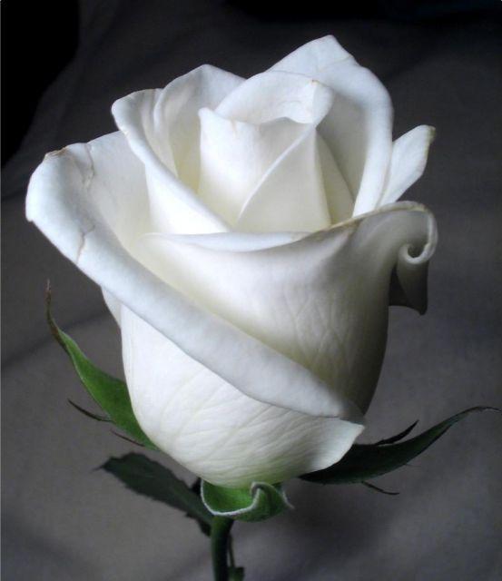 Росла роза