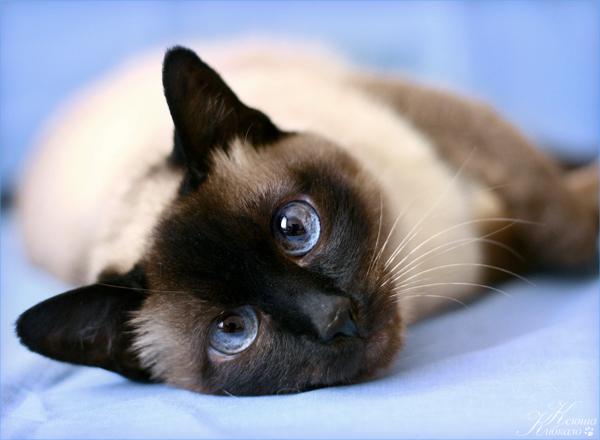 продам тайскую сиамскую гладкошерстную кошечку.