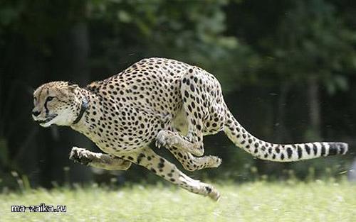 Сара Cheetah установить новый рекорд скорости для всех сухопутных млекопитающих на 9 сентября 2009 года в Цинциннати.