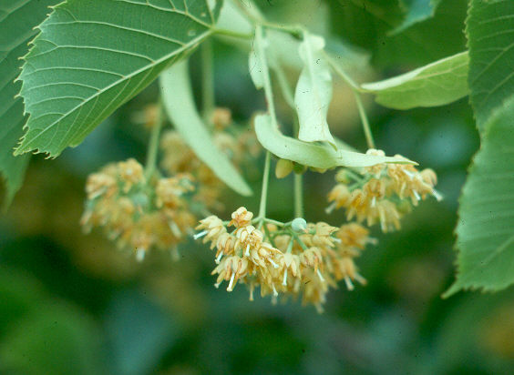 Linden Flower
