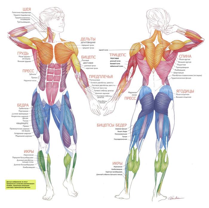 Анатомический Атлас Мышц