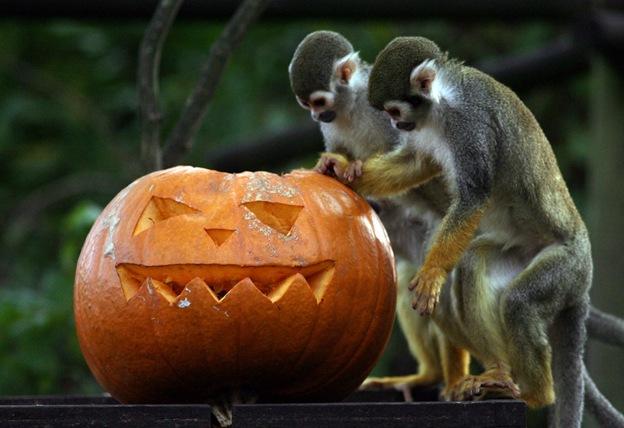 Беличьи обезьянки в Бристольском зоопарке изучают специально вырезанную для них тыкву на Хэллоуин 28 октября в Бристоле, Англия. Подарок в виде тыквы очень полезен, так как отлично вписывается в диету животных. Тыквы богаты витаминами, калием, протеином и волокнами, к тому же это отличная игрушка, так как животным приходится лезть внутрь и самим доставать мякоть и семечки