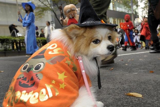 Чихуахуа по кличке Аи присоединилась к детям на параде в честь Хэллоуина в Токио 25 октября. Около 1000 детей в хэллоунских костюмах приняли участие в параде «Хараюки Омотесандо 2009»