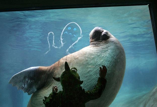 4-летний Логан Вайтц в костюме динозавра подманивает моржа поближе к стеклу в зоо- и аквапарке Такомы, штат Вашингтон, 18 октября. Дети, многие из которых были в костюмах животных и супергероев, приняли участие в ежегодном празднике, проводимом в зоопарке, на котором посетители играли в «мусорщика» и другие традиционные игры
