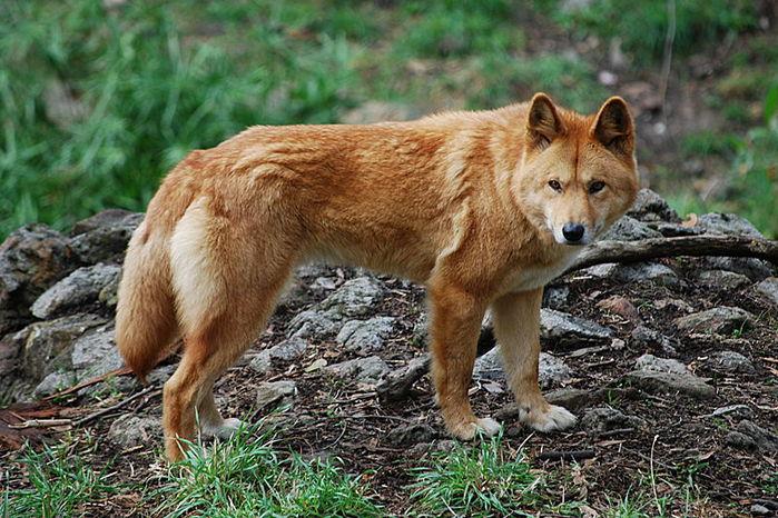 http://img0.liveinternet.ru/images/attach/c/1//50/766/50766682_800pxcanis_lupus_dingo__cleland_wildlife_park.jpg