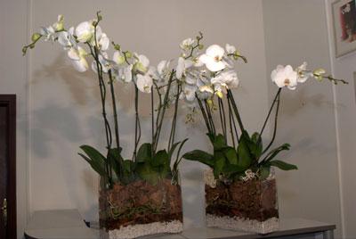комнатные орхидеи