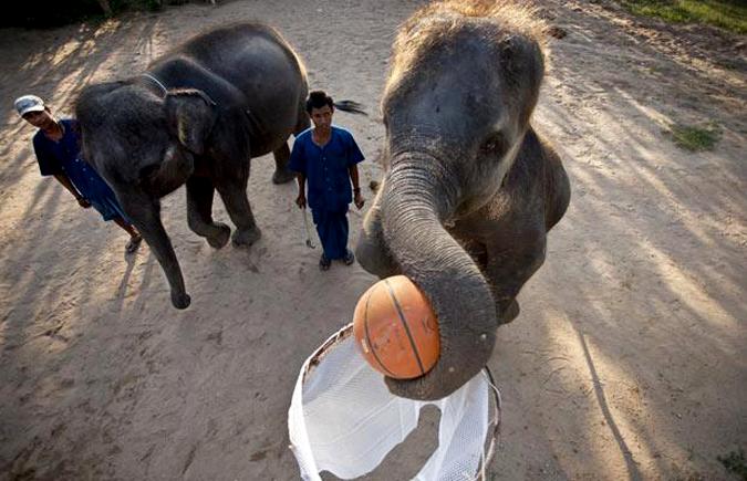 Слоны играют в баскетбол, остров Кох Самуи, Таиланд.