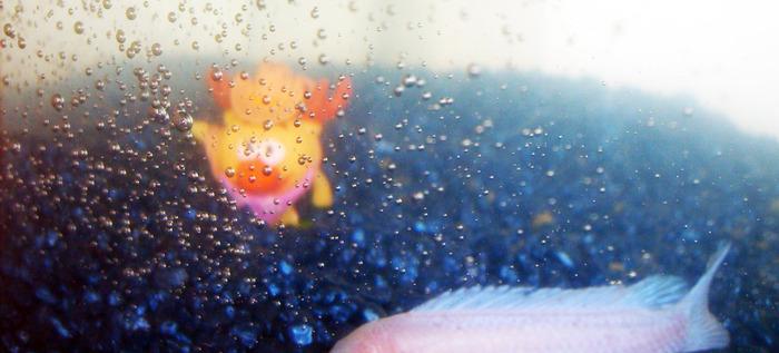 лосяш, цихлидная рыбка, аквариум