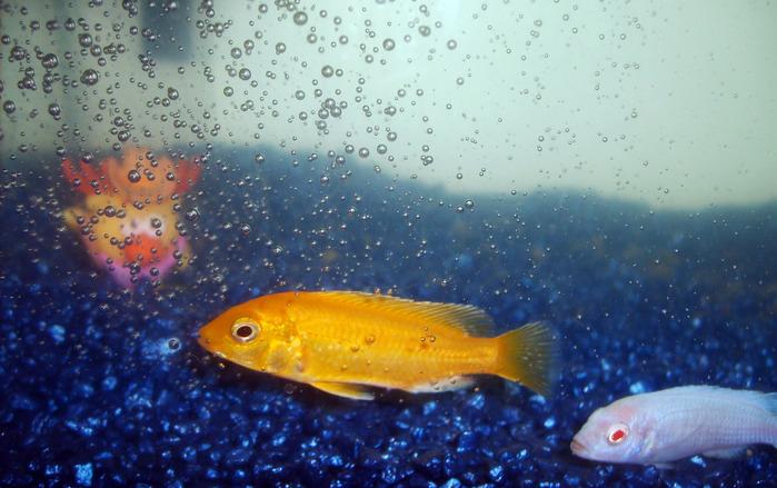 цихлидные рыбки, лосяш, аквариум