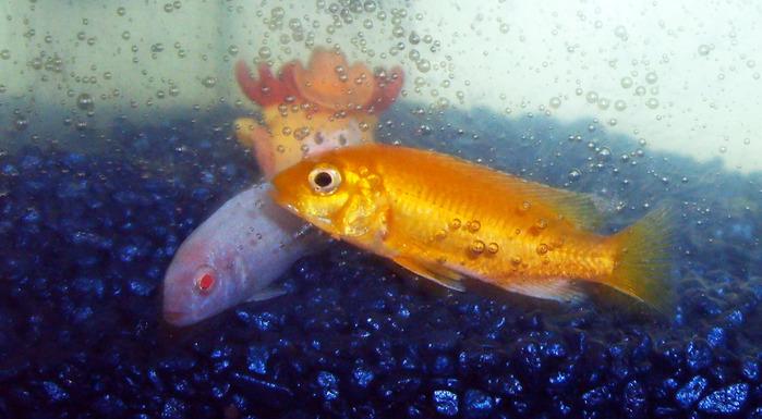 цихлидные рыбки, зависть