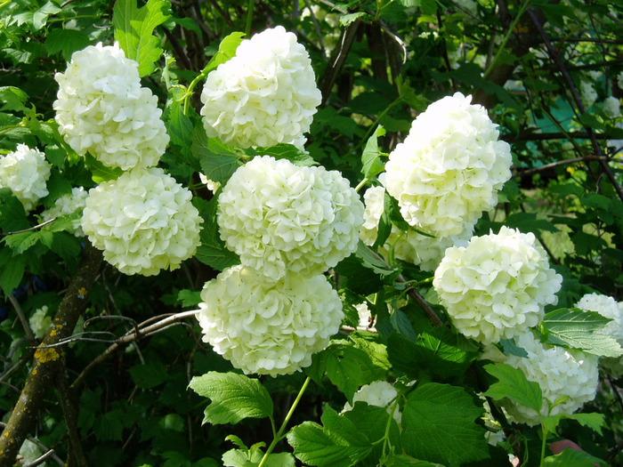 Рекомендуемые растения с белыми цветами для Белого сада