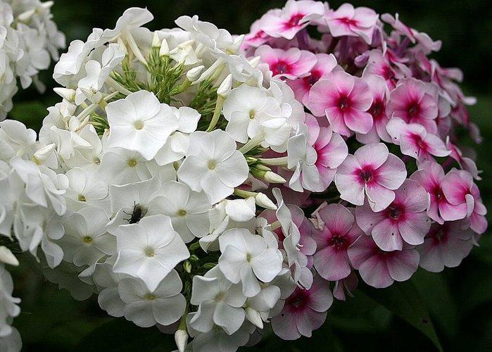 цветы валентины 003-1 (699x500, 84 Kb)