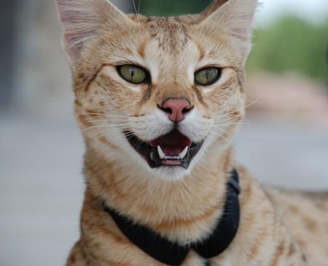 Cамый высокий кот в мире 24184