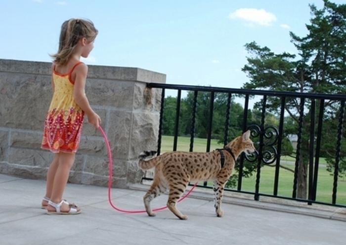 Cамый высокий кот в мире 82053