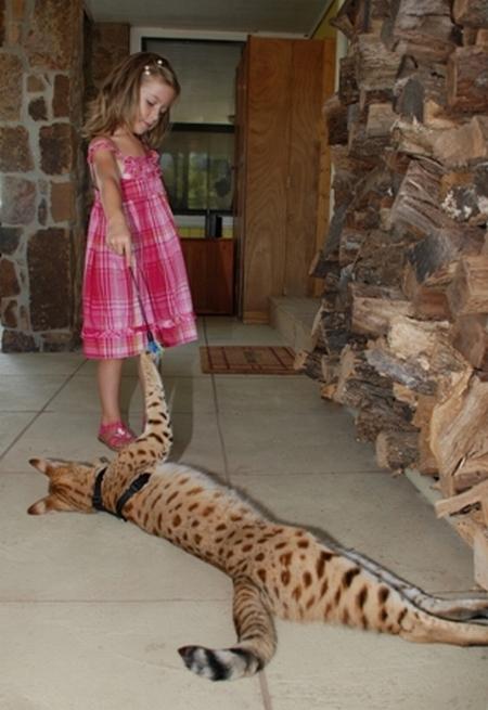 Cамый высокий кот в мире 33004