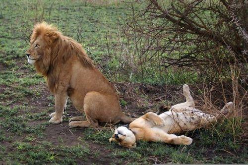 лев трахнул львицу