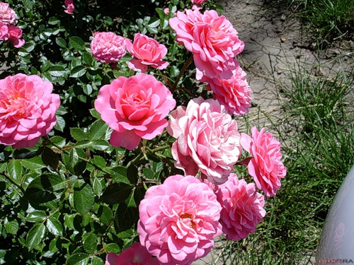 Розы-1в (500x375, 97 Kb)
