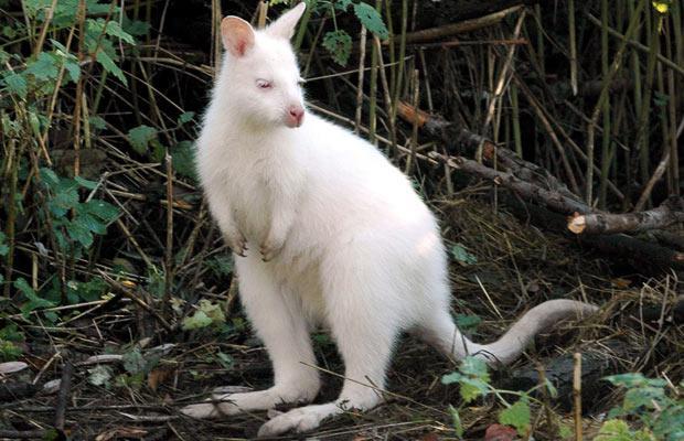 Павлин альбинос 33637