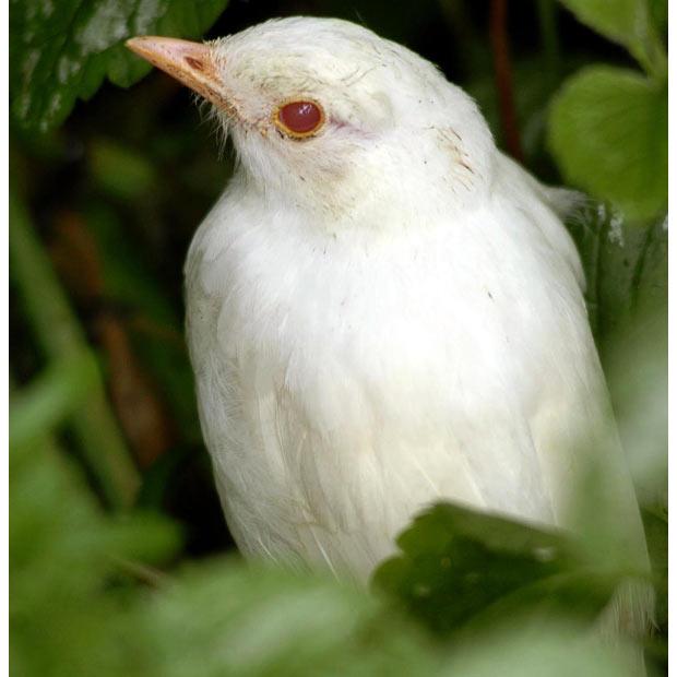 Павлин альбинос 21314