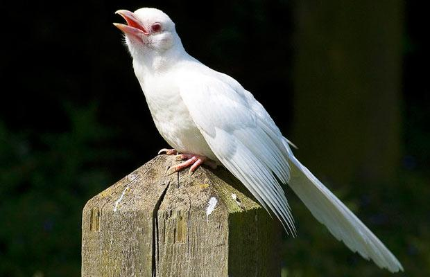 Павлин альбинос 41901