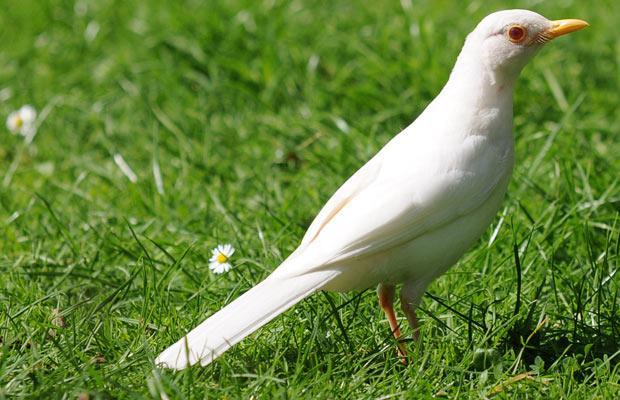 Павлин альбинос 79879