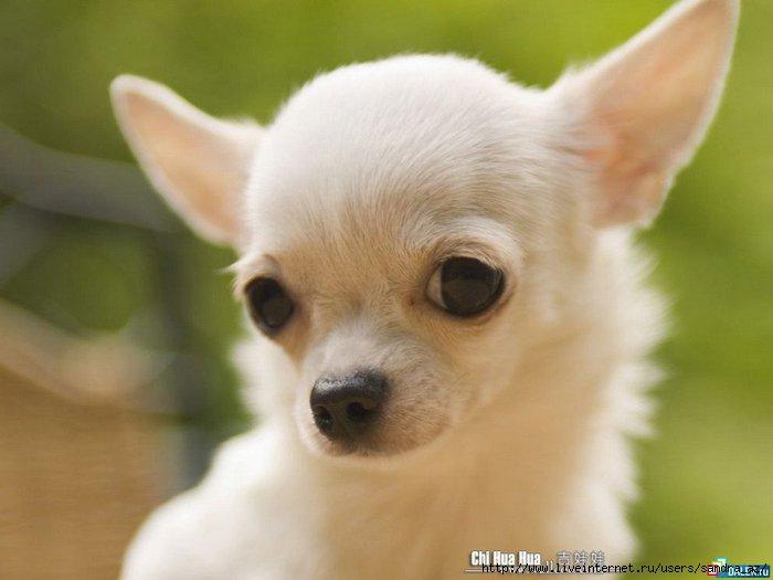 фото и название породы маленьких собак