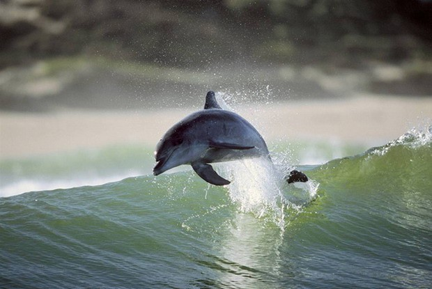 1309095_12-18-surfing-dolphins-01_ss_full (620x415, 62 Kb)